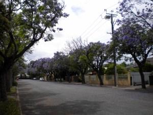 Jacarandas in Malvern