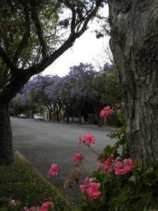 Jacarandas & Geraniums-Malvern