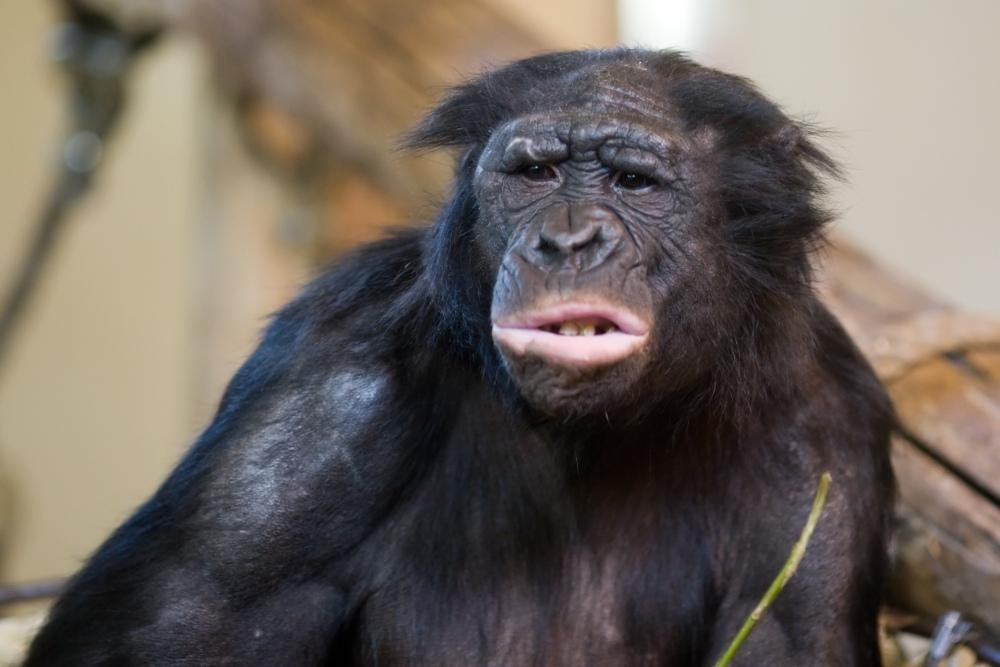 Poem a Day 2013 #12: Bonobo
