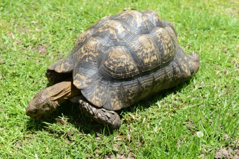turtle_reptile_south_africa_tortoise-545214